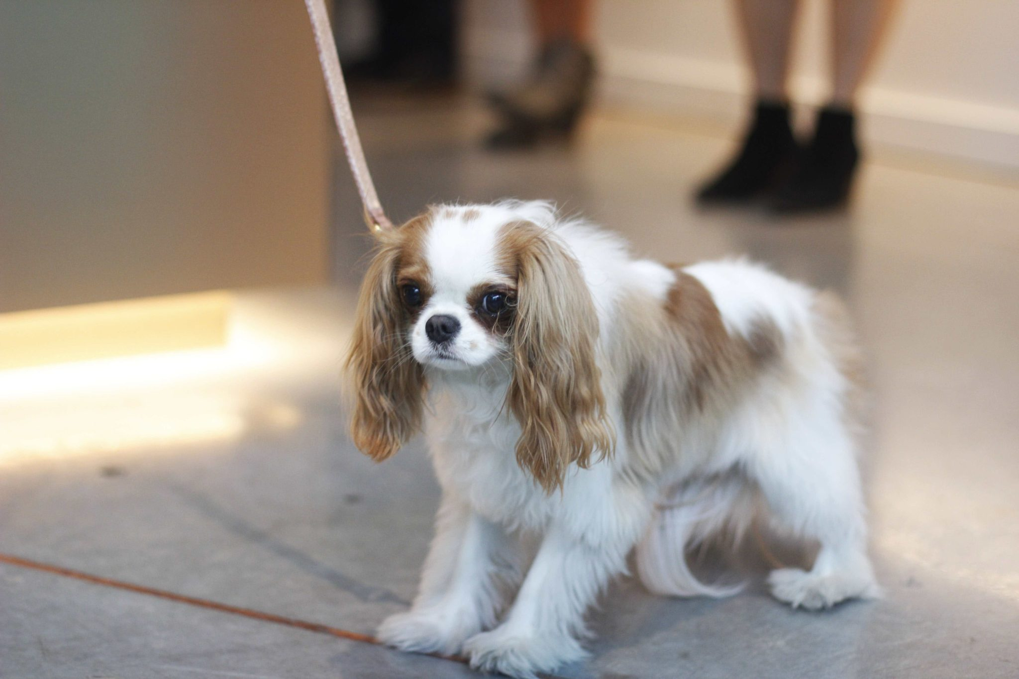 Event recap from the PAWsh Puppy Fashion Show with Kelly Wynne Handbags. Steven Jalapeño and 5 other dogs participated in the Austin Pets Alive runway way show. Click for more info and pictures.