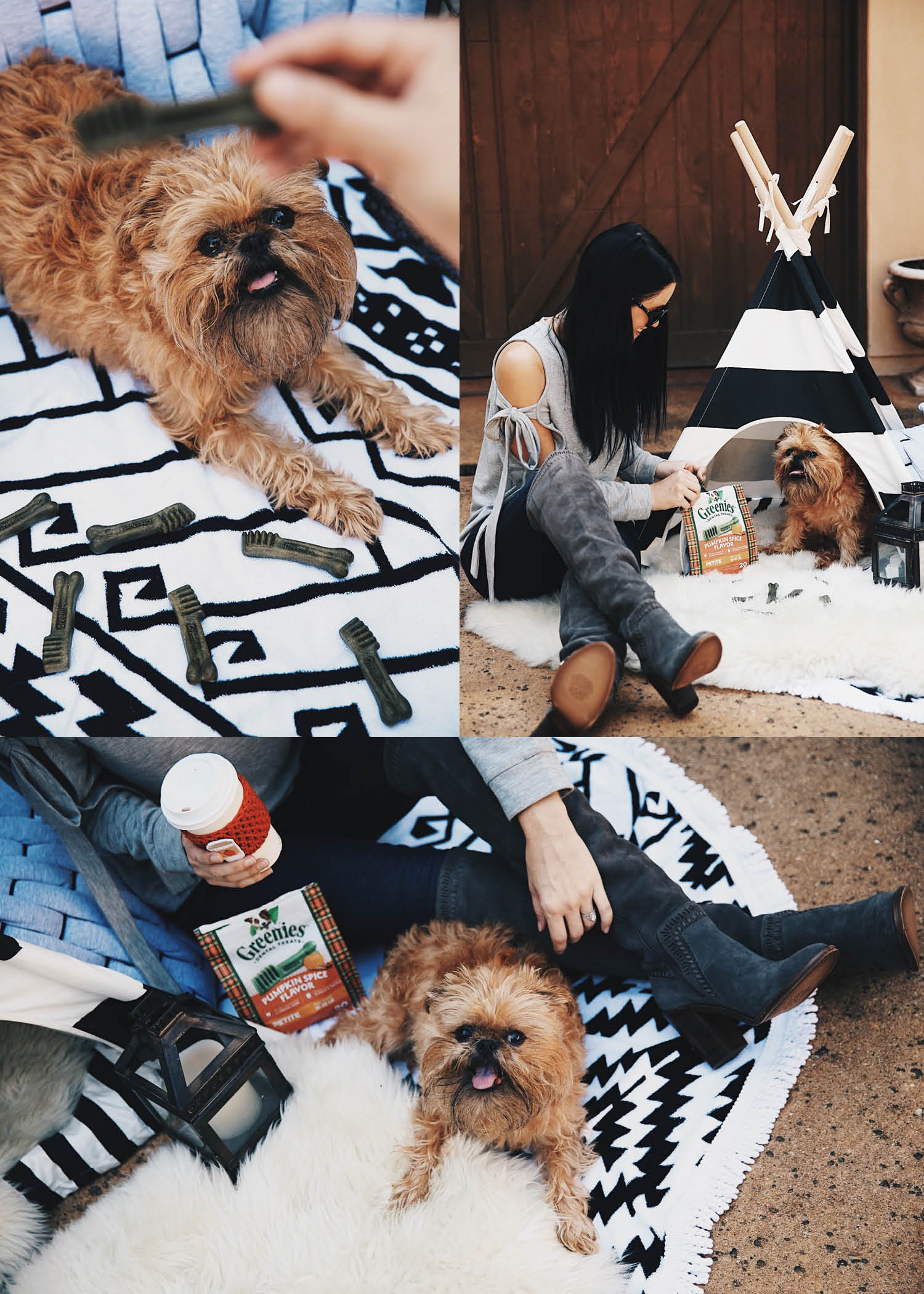 DTKAustin is sharing her Brussels Griffon, Steven Jalapeno's favorite Greenies Pumpkin Spice Dental Chews plus a giveaway for free dog treats! | dental dod chews | dog treats | #greenies #greeniesPumpkinSpice || DTKAustin