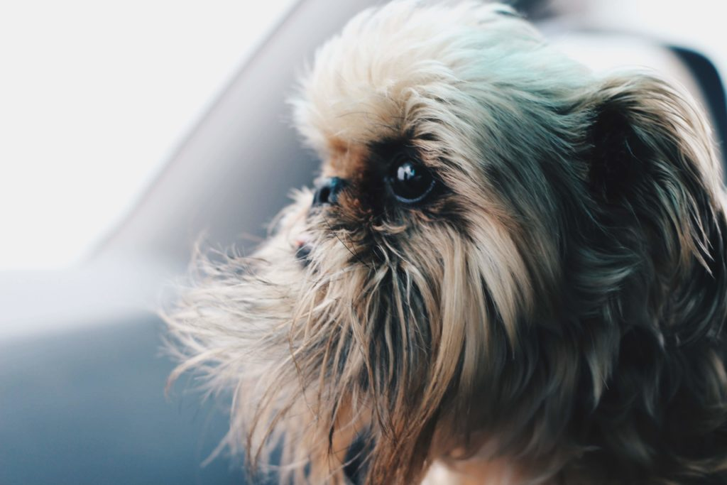 DTKAustin is sharing an important story about her Brussels Griffon, Steven, and what it's like living with a dog that has Intervertebral disc disease.
