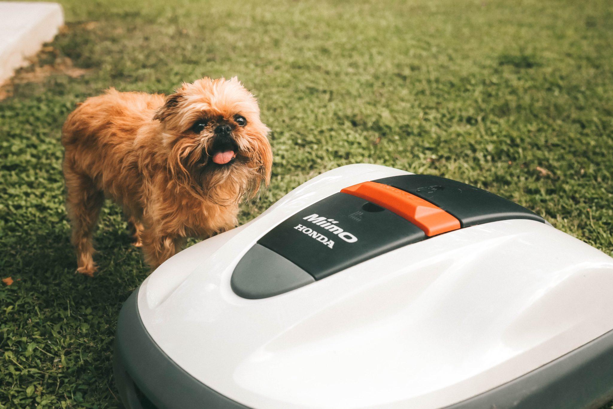 Honda Miimo Robotic Lawn Mower Review by popular Austin lifestyle blog, Dressed to Kill: image of a dog standing next to the Honda Miimo Robotic Lawn Mower.